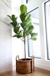 CRUSH Fiddle+Leaf+Fig